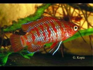 Окунь синий (рыба-хамелеон)