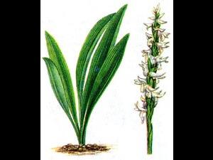 Спирантес поникший, водная орхидея